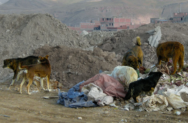 Dogs-In-Garbage-Bolivia